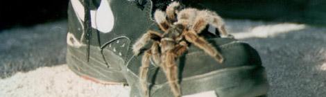 spinnenschuh